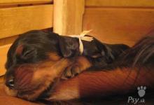 Inzercia psov: Gordonsky seter