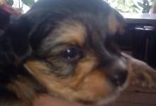 Inzercia psov: predam šteniatka yorkshirskeho teriera krizeneho s
