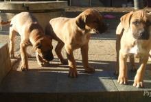 Inzercia psov: Darujem stafordsirsky-terier