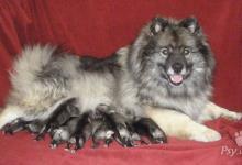 Inzercia psov: Keeshond / vlčí špic prodám štěňata s PP - kvalita