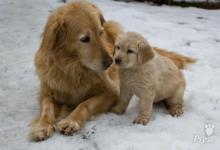 Inzercia psov:  Hovawart - štěňata s PP ihned k odběru