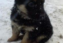 Inzercia psov: Predám šteniatka nemeckého ovčiaka