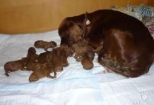 Inzercia psov: Prodám štěnátka Irského setra