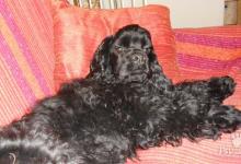 Inzercia psov: šteniatko amerického kokra s PP na predaj
