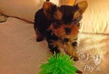 Inzercia psov: Rozkošný Yorkshire teriér hračka