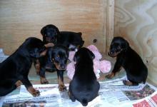 Inzercia psov: Doberman - kvalitní štěňata s PP