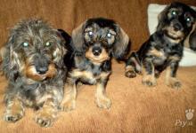 Inzercia psov: Jazvečík hrubosrstý štandard
