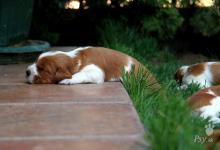 Inzercia psov: Welsh Springer Spaniel šteniatka