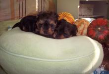 Inzercia psov: Predám šteniatka Yorkshirského teriéra