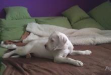 Inzercia psov: Šteniatka argentínskej dogy - papieroví rodičia