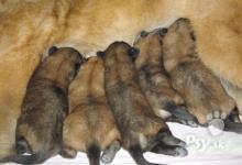 Inzercia psov: Steniatka Belgický ovčiak - Tervueren