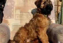 Inzercia psov: štěňátka briarda