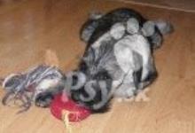 Inzercia psov: KNÍRAČ STŘEDNÍ PEPŘ A SŮL