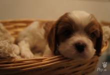 Inzercia psov: Predám šteniatka cavalier king charles spaniel