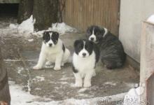 Inzercia psov: Šteniatka Turkménsky alabaj, Stredoázijský ovčiak