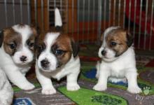 Inzercia psov: Krásné fenečky Jack Russell Teriéra