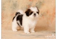 Inzercia psov: Shih Tzu - šteniatka ( shi-tzu,si-cu,shit-zu )