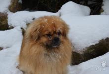 Inzercia psov: tibetský španěl s pp