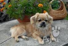 Inzercia psov: Tibetský španiel štěňatá