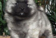 Inzercia psov: Keeshond / vlčí špic prodám krásná štěňata s PP