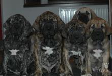 Inzercia psov: CHS Itolas nabízíme štěňata Brazilské fily s PP