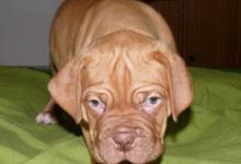 Inzercia psov: Bordeauxská doga