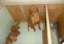 Inzercia psov: predám šteniatka madarskej vižle