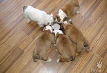 Inzercia psov: Anglický buldog