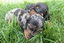 Inzercia psov: JAZVECIK TRPASLICI,LUXUSNY MODRY TIGER