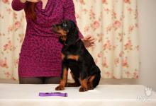 Inzercia psov: Gordon seter s PP - posledné voľné šteniatka