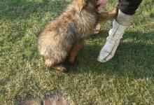 Inzercia psov: Šteniatka nemeckého ovčiaka
