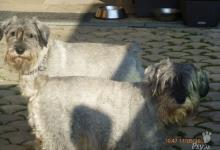 Inzercia psov: Krytie stredný bradáč korenie a soľ