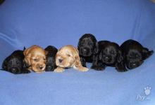 Inzercia psov: Anglický kokršpaněl štěňata s PP