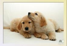 Inzercia psov: Hovawart - štěňata hovawarta s PP