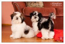 Inzercia psov: Shih Tzu šteniatka (shi tzu, si cu, Ši-tzu)