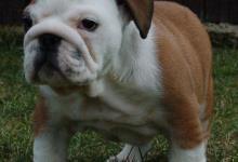 Inzercia psov: ANGLICKÝ BULDOG - BULLDOG - Buldok