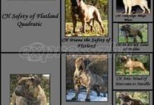 Inzercia psov: Bullmastiff