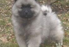 Inzercia psov: Keeshond / vlčí špic špičk štěňata s PP -  kvalita