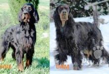 Inzercia psov: GORDONSETR štěňata s průkazem původu