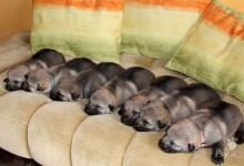 Inzercia psov: československý vlčiak - šteniatka