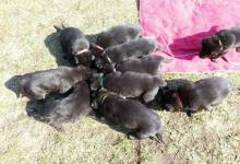 Inzercia psov: německý ovčák - štěňata