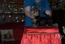 Inzercia psov: Jorkšírský terier s PP