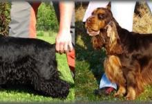 Inzercia psov: Zadám štěňátka Anglického kokršpaněla