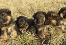 Inzercia psov: štěňátka německého ovčáka černá se znaky