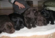 Inzercia psov: Čistokrvné šteniatka labradora