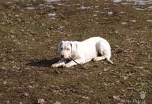 Inzercia psov: Prodám štěňátko Argentinské dogy
