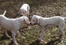 Inzercia psov: Prodám špičková štěňátka Argentinské dogy