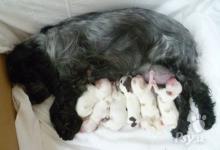 Inzercia psov: Anglický kokeršpaniel - šteniatka s PP