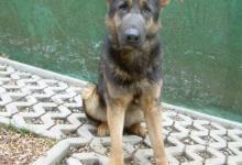 Inzercia psov: Nemecký ovčiak- predám sučku.