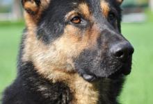 Inzercia psov: Nemecký ovčiak- predám šteniatka.